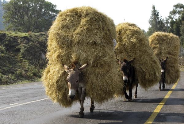 Loaded donkeys with hay