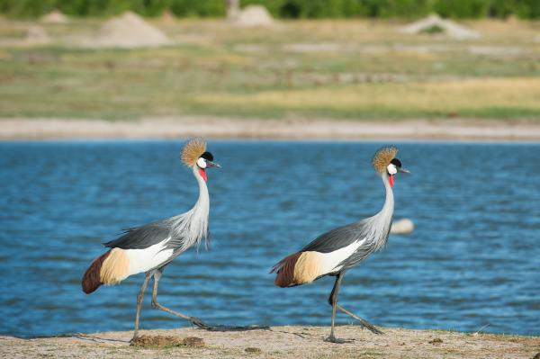 Pair of grey-crowned cranes