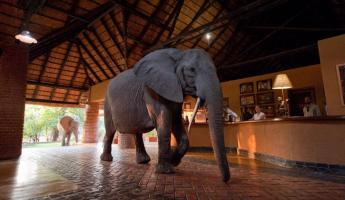 Late in the year elephants walk through the lobby