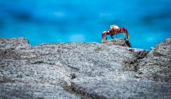 Sally Lightfoot Crab on a rock