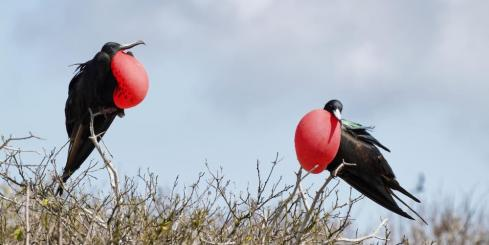 Two frigate birds
