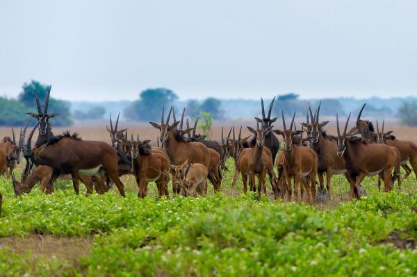 A herd of sable antelope