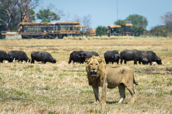 Lion with a buffalo herd