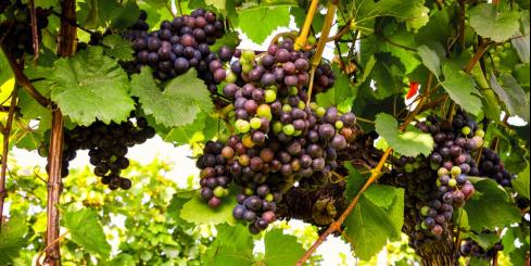 Grapes at a vineyard