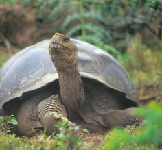 Massive Tortoise in the Galapagos