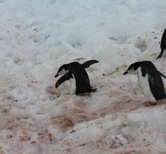 Penguins slide down the slope