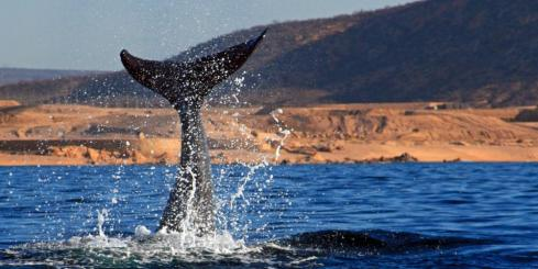 Gray Whale tail splashing