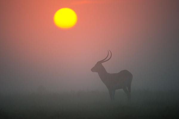 Red Lechwe on the plain