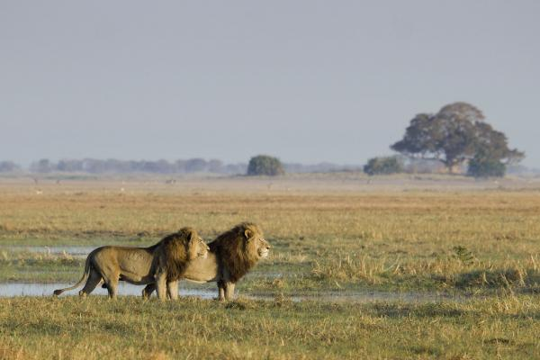 The two male lions on the Busanga Plains