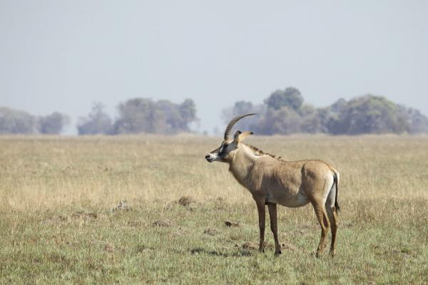A roan antelope, a rare sighting