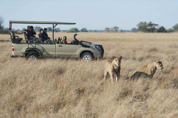 Lion on the Busanga Plains