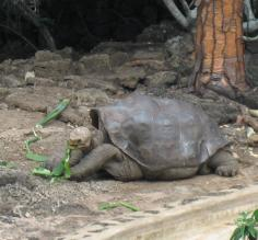 The late Lonesome George