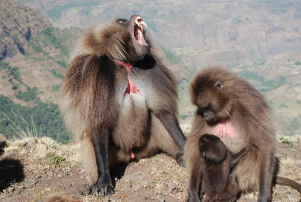 Gelada Baboons in the Simiens