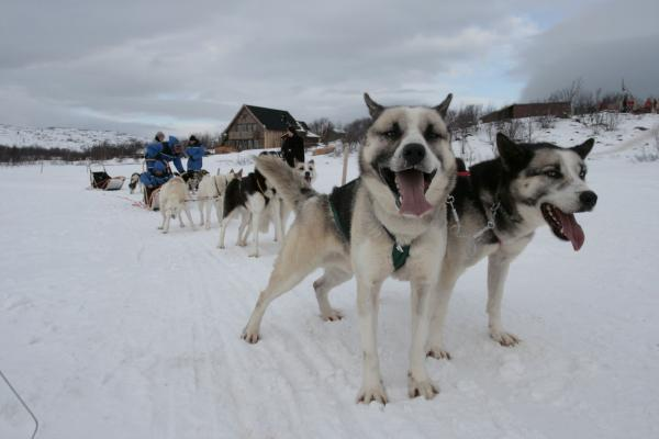 Norway Kirkenes Huskies
