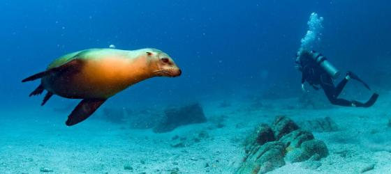 Sea lion and scuba diver