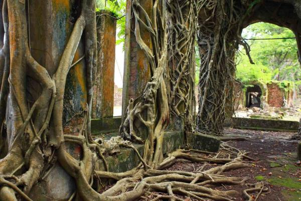 Observe old trees growing on brick houses in the Andaman Islands