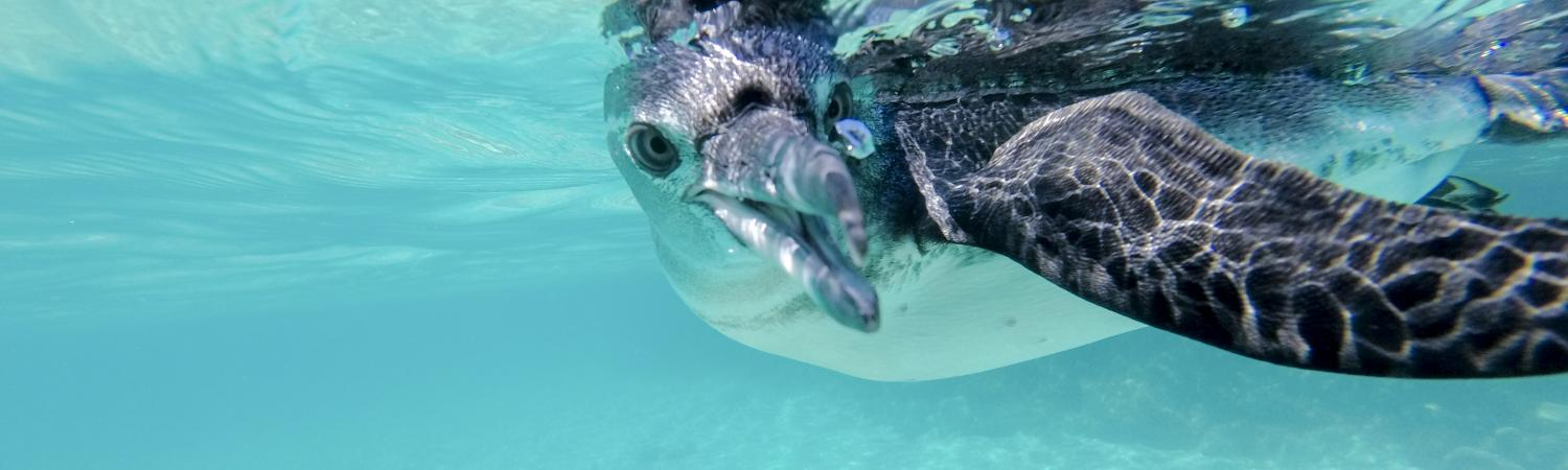 Galapagos penguin swimming underwater