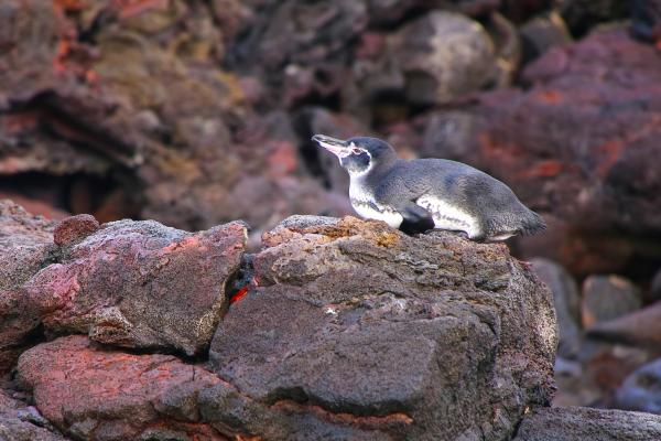 Galapagos penguin on a rock