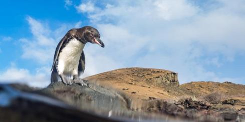 Galapagos penguin by the water