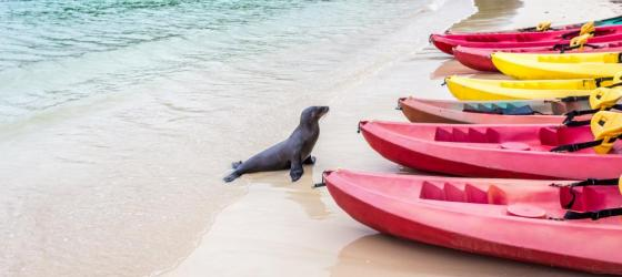 Sea lion by the kayaks