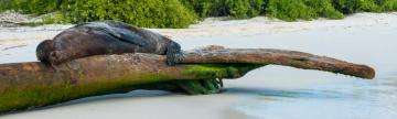 Sleepy sea lion on a log