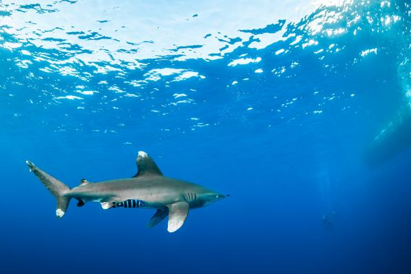 White tipped shark