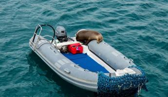 Sea lion on a dingy