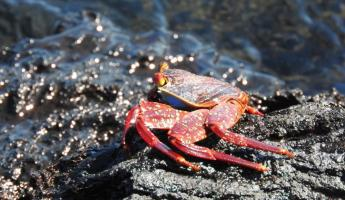 Moreno Point, Isabela Island, Galapagos, Sally Lightfoot Crab