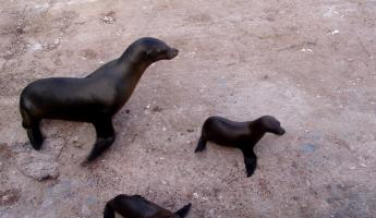 Little family of sea lions