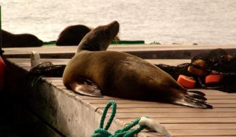 ...and more sea lions