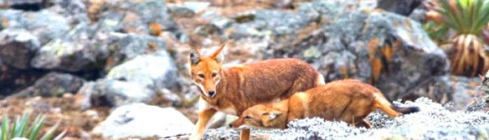 Ethiopian Wolves on the Sanetti Plateau
