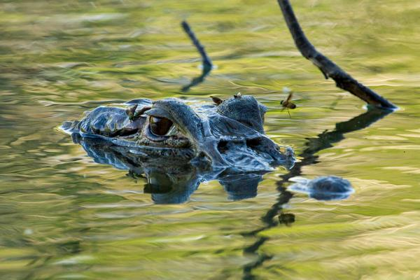Black caiman in the Amazon