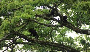 Howler Monkey Family