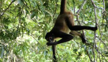 This spider monkey put on a show for visitors at Tikal