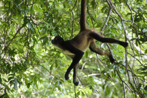 Spider monkey at Tikal