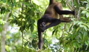 Spider Monkeys hide in the trees at Tikal