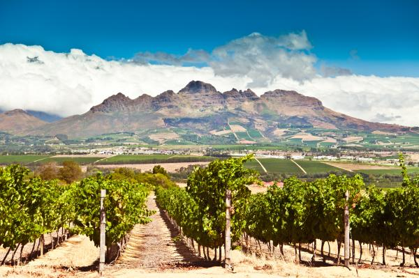 Stellenbosch vineyard in South Africa