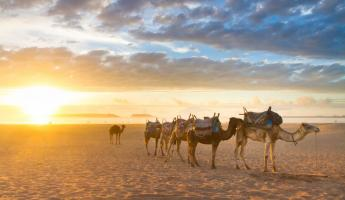 Camels in the desert of Egypt