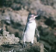 Small penguin in the Galapagos
