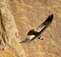 Andean condor flying high
