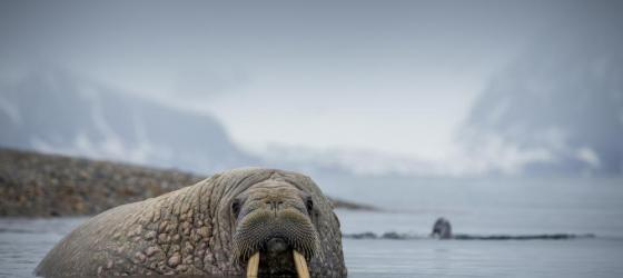 Walrus in the Arctic