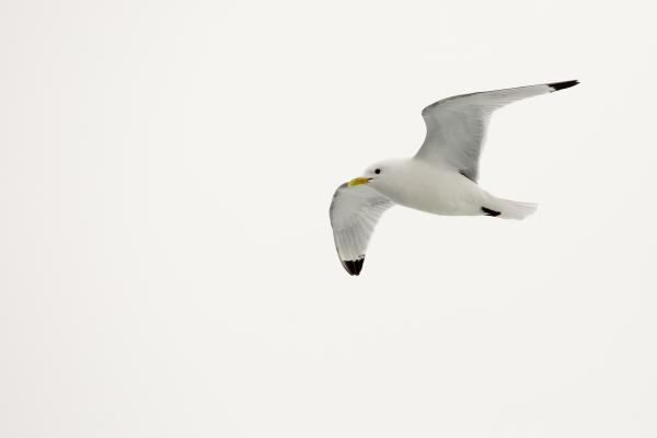 Kittiwake bird in flight