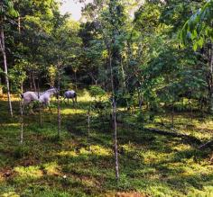 Horsies at Selva Bananito
