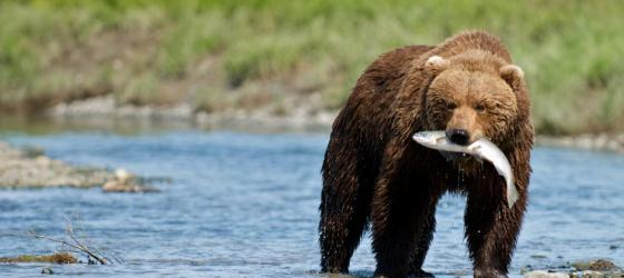 Grizzly bear catching a fish