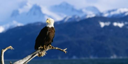 Bald Eagle perched on a tree