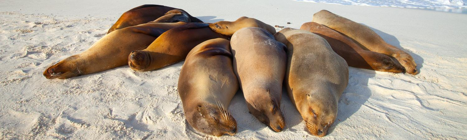 Sea lions bask in the sun on the beach