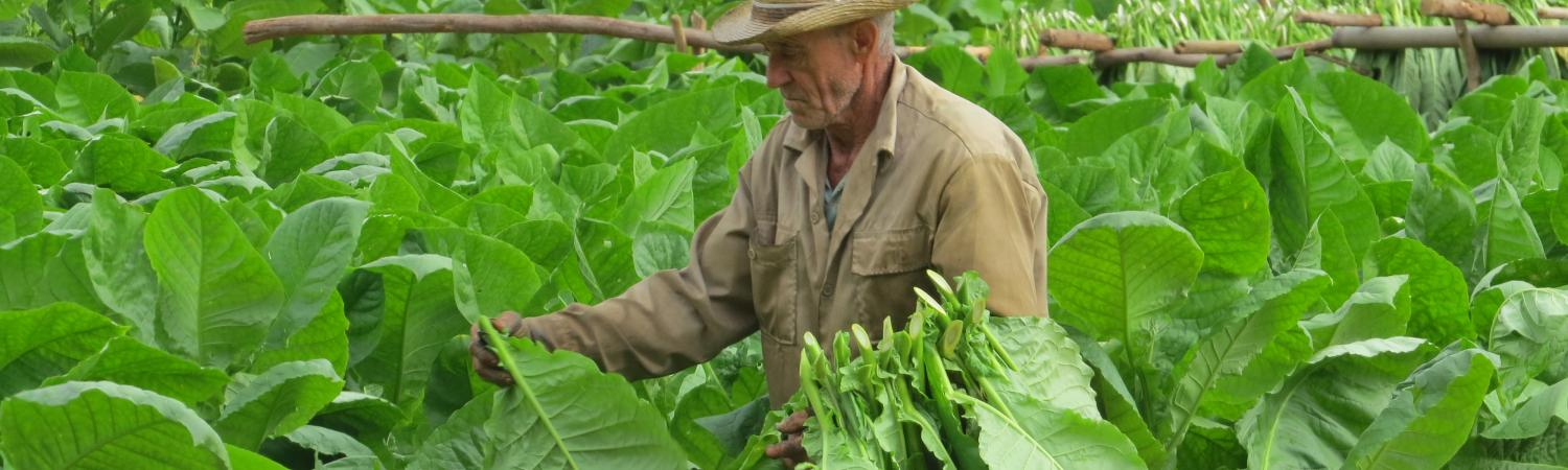 Farmer harvests his crop in Cuba