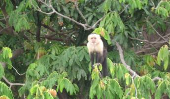 white faced/capuchin monkey