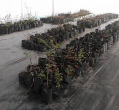 More mature lenga seedlings in the new nursery established by AMA Torres del Paine and the Torres del Paine Legacy Fund in 2016