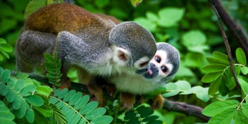 Two squirrel monkeys in the Amazon